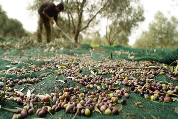 olive net